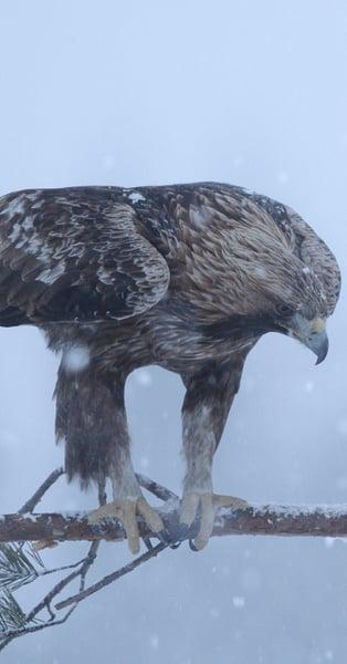 Monitoraggio dell aquila reale - Parco Nazionale dello Stelvio ... ae86ef488d90