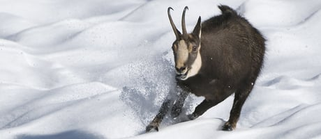 The chamois