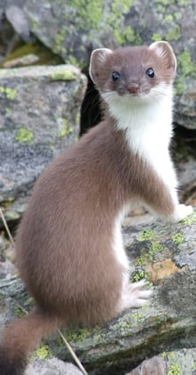 The stoat or ermine
