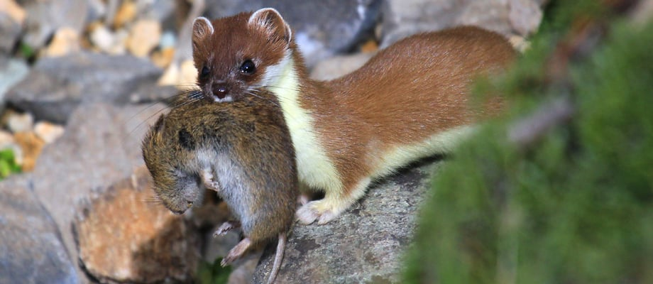 The Stoat Or Ermine The Stelvio National Park Trentino Italy