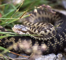 The common european viper
