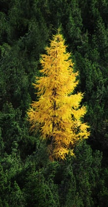 The european larch