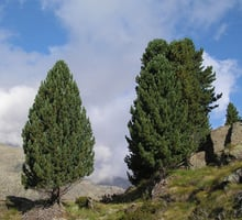 The stone pine or arolla pine