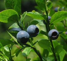 The bilberry