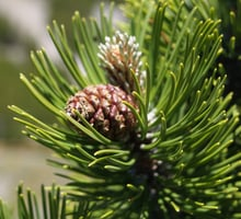 The mountain pine