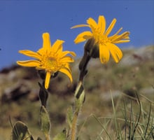 The arnica