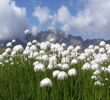 The white cottongrass